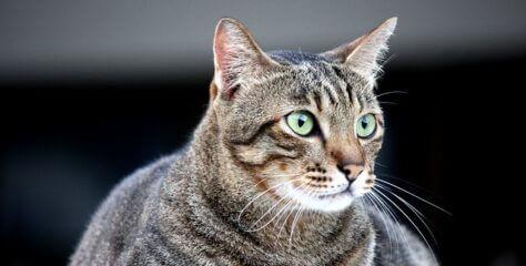 Kedilerde Diyabet Hastalığı Belirtileri ve Tedavisi