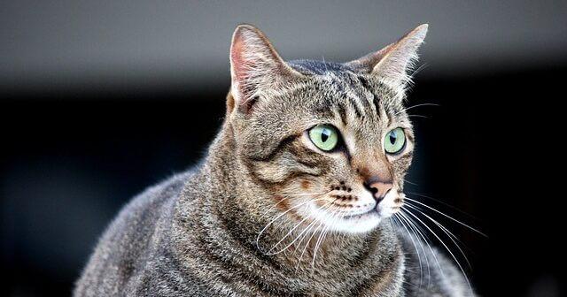 Kedilerde Diyabet Hastalığı