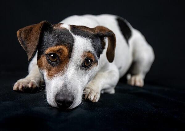 Jack Russell Terrier Irk Özellikleri ve Bakımı
